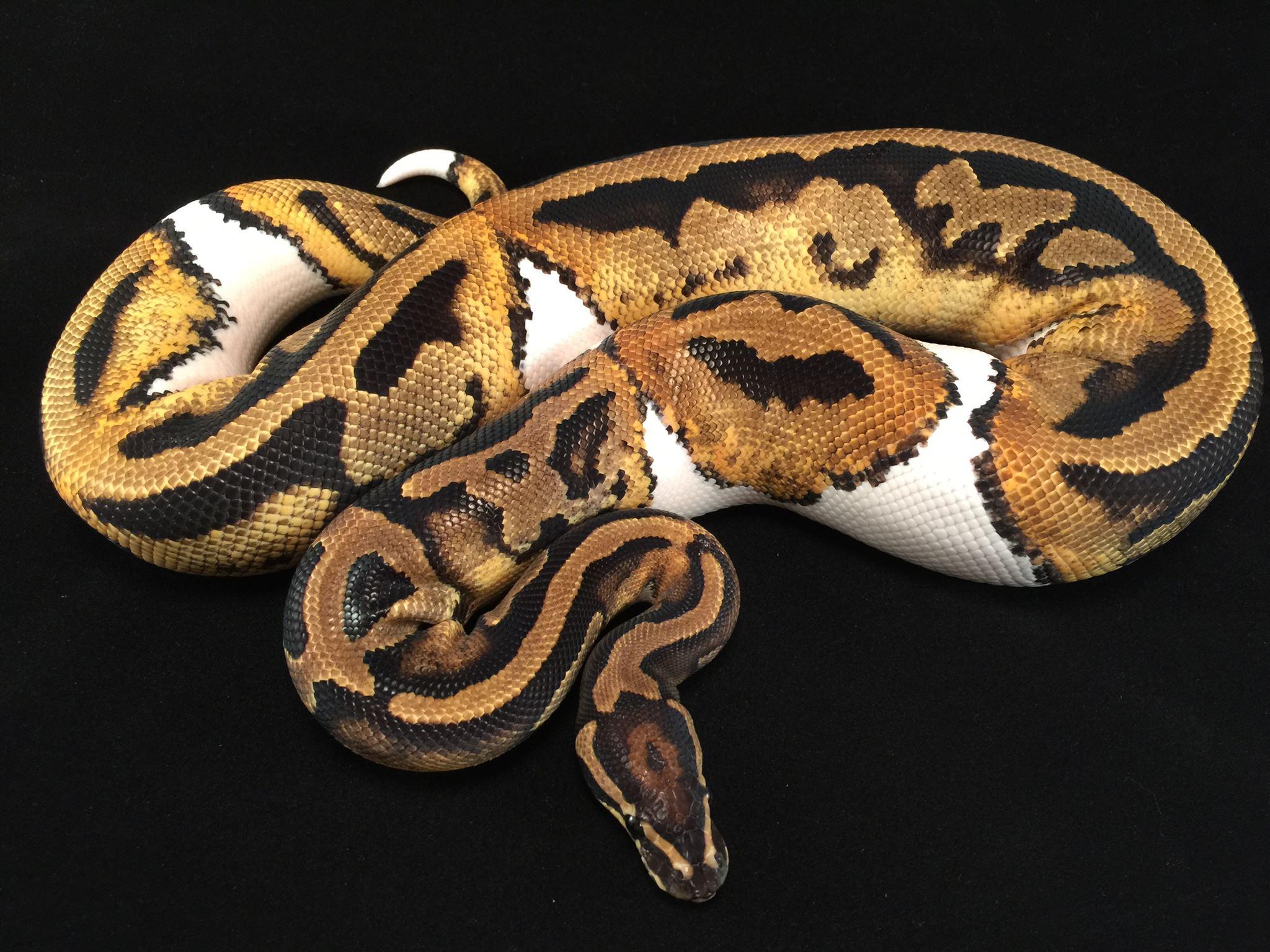 ball pythons in texas, where to buy ball pythons, fort worth ball pythons